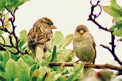 Siblings in the rain... (fionarosegunn) Tags: babybirds rain northamptonshire gardenbird juvenile housesparrow sparrow