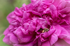 Hard Work (LadyBMerritt) Tags: rose flower bee insect bug garden nature macro plant