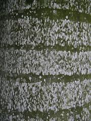 (elizabatz.jensen) Tags: palm trunk horizontal line singapore bark