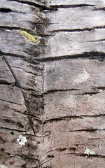 Palm tree bark in Costa Rica (elizabatz.jensen) Tags: palm trunk horizontal line bark tree costarica