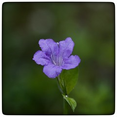 Violet (vui.la9) Tags: