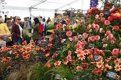 Floral Marquee Dahlias (Bri_J) Tags: rhs chatsworthflowershow2019 chatsworthhouse edensor derbyshire uk chatsworth flowershow nikon d7500 floralmarquee dahlia flowers