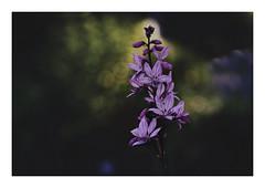 Plant Life (VanveenJF) Tags: fujinon fujica lens 100mm sony a7ll flower boke green plant life nature creation canada botanical gardens stalbert alberta
