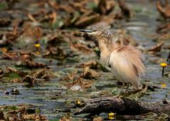 Squacco Heron: Ardeola ralloides (renzodionigi) Tags: pelecaniformes ardeidae rallenreiher tophejre garcillacangrejera crabierchevelu sgarzaciuffetto ralreiger paparatos