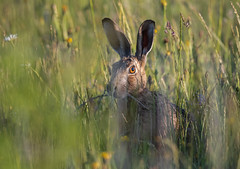 Hare-5054629 (seandarcy2) Tags: wild wildlife animals hare brownhare nature grassland beds sandysmith nr
