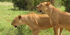 Safari Mombasa Kenya - African Memorable Safaris (africanmemorablesafaris) Tags: tour travel safari mombasa kenya groupsafari