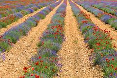 P1110813 (alainazer2) Tags: simianelarotonde provence france fiori fleurs flowers fields champs lavande lavanda lavender colori colors couleurs coquelicot poppy papavero