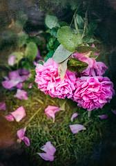 Battered by the rain... (judy dean) Tags: garden judydean june 35mm flowers 2019 roses gertrudejekyll petals fallen rainedon battered texture ps