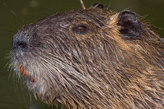 (1/2) Nutria : portrait (Zoom in please) (Franck Zumella) Tags: myocastor coypu ragondin eau castor rat water lake lac nager swim nutria red orange rouge teeth tooth dent animal wildlife cold froid fun funny amusant no non nonono ok human behaviour omg oh god laugh rire song sing chanter chanson singer chanteur sony a7r a7 tamron 150600