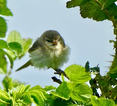Willow Warbler chick (zanypurr) Tags: bird chick odc famous willowwarbler baby