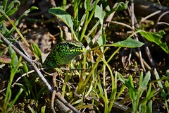 little green dragon ;) (green_lover (I wait for your COMMENTS!)) Tags: lizard sandlizard reptiles animals wildlife nature grass green