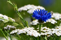 Bloeitijd (nikjanssen) Tags: blue summer macro grass blauw bloom cornflower kornblume korenbloem bloei explore