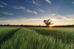 SUNDOWN (Nick Seaman Photos) Tags: golden sun clouds cloudy cloud crop harvest field barley wheat tripod grad polarizer polariser kase leefilters benro a7siii a7riii a7rii dusk sunset england english suffolk sony batis