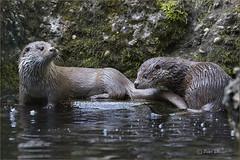 What do you think, shall we go for a swim? (Fisherman01) Tags: 2tiere mitwasser asiatischerzwergotter orientalshortclawedotter zoozürich
