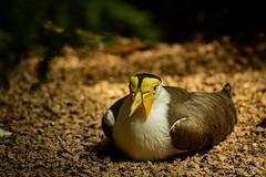 Masked Lapwing Resting (silvergodyouko) Tags: masked lapwing bird woodland park zoo seattle washington