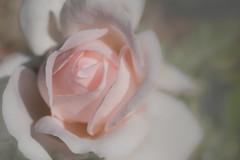 charm curves (christophe.laigle) Tags: christophelaigle curves fuji macromondays xpro2 xf60mm fleur flower macro nature pink rose