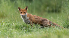 Fox (Glenn.B) Tags: nature wildlife buckinghamshire animal mammal fox grassland vulpesvulpes