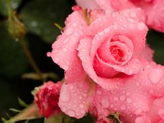 Rose (upjohn_freak) Tags: rose rosa pink flower fleur fiore