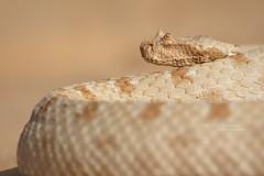 Pseudocerastes fieldi (Matthieu Berroneau) Tags: sony alpha ff 24x36 macro nature wildlife animal fe sonya7iii sonya7mk3 sonyalpha7mark3 sonyalpha7iii a7iii 7iii 7mk3 sonyilce7m3 herp herping trip israel israël reptile reptilian reptilia serpent g oss 55 6fmoss sonyfe100400mmf4556fmoss sonyfe100400mmf4 100400 gm sony100400gm sonyfe100400mmf4556gmoss snake pseudocerastes fieldi pseudocerastesfieldi fields horned viper fieldshornedviper eye false trans jordanian eyehornedviper falsehornedviper transjordanianviper shefifon field trughornviper fieldtrughornviper falsa vipera cornuta falsaviperacornuta shepipon