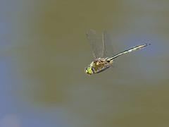 Cordulie bronzée au Parc du Mary à Esneux (Nicopope) Tags: nikon cordulie bronzée libellule esneux parc mary surplace dragonfly libellules dragonflies