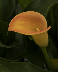 Simplicity (MrBlueSky*) Tags: arum arumlily flower nature garden horticulture outdoor colour rhs chelseaflowershow london canon canonm6 canoneos