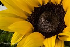 Macro Sunflower (alexandergörlich) Tags: canoneos60d tamronspaf90mmf28dimacro11 wien vienna österreich austria hobby fotografie fotographie amateurfotografie amateurphotography canon produktfotografie productphotography schönheit wonderfull goodtime beautiful schön photo makro macro macroworld makrofoto makrofotografie macrophotography landschaft landscape sonne sun blume flower nature natur sommer summer sonnenblume sunflower