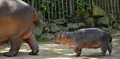 Happy Hippo (3)   -   auf Mamas Spuren (karinrogmann) Tags: flusspferd jungbulle 23519hippo ippopotamo kölnerzoo