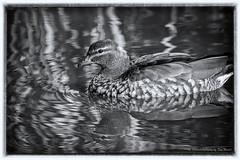 DSC_7179-Edit-Edit-2.jpg (Beckett_1066) Tags: nepean birds penrith nepeanriver
