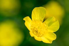 Buttercup flower (elfsprite) Tags: buttercup niittyleinikki ranunculusacris nikond500 sigma105 helsinki mellunmäki kukka flower