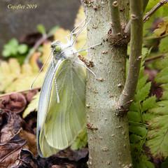 Groot koolwitje bijna klaar om te vliegen. (Cajaflez) Tags: vlinder papilon butterfly smetterling grootkoolwitje white largecabbagewhite