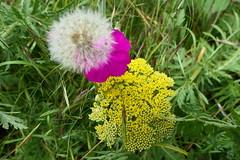 Wiese - Meadow (ivlys) Tags: darmstadt wiese meadow schafgarbe yarrow nelke pink pusteblume blowball löwenzahn dandelion blumen flowers natur nature ivlys