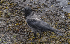 The Artful Dodger (davidrhall1234) Tags: hoodedcrowcorvuscornixalsocalledhoodie hoodedcrowcorvuscornix hoodedcrow oban argyll scotland bbcspringwatch springwatch birdsofbritain bird beak coastal coast feather nature nikon outdoors shore shoreline sea wildlife world