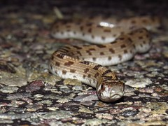 spotted Leafnose snake-Anza Borrego DSP (gskipperii) Tags: herping herps herpetology amateurherping snakes reptile serpents animals animal wildlife southerncalifornia coloradodesert desert night nocturnal lonelyroad scissorscrossing heatingup pavement coldblooded sandiegocounty