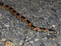 Colorful Long nose snake-Anza Borrego DSP (gskipperii) Tags: herping herps herpetology amateurherping snakes reptile serpents animals animal wildlife southerncalifornia coloradodesert desert night nocturnal lonelyroad scissorscrossing heatingup pavement coldblooded sandiegocounty