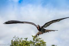 Magnificent Frigate Bird (Linda Martin Photography) Tags: fregatamagnificens male wildlife frigatebird puertoaroya nature bird galapagosislands santacruzisland naturethroughthelens coth coth5 ngc npc