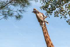 Trop haut....? (balese13) Tags: 16300 d5500 labarben nikonpassion tamronaf16300mmf3563dillvcpzdmacrob016 animal balese bestiole girafe nikon pixelistes tamron zoo 500v20f 1000v40f 1500v60f