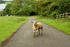 The Bouncer :)) (Drew Scott :))) Tags: outdoor lamb sheep cute fluffy wool coat fur ears park field nature farm farming livestock path track tree water lake reservoir england rutland rutlandwater nikon d3200