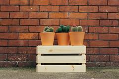 Cactus Plants in Pots: Creative Commons (tree2mydoor) Tags: cactusplantsinpots cactusflowers smallcactusplants cactusindoors cactusoutdoors