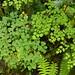 Beautiful fern in the cloud forest of Ventanas - Jardin, Antioquia P1390388
