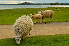 Sheep at Rutland water (Drew Scott :))) Tags: outdoor england rutlandwater countryside rural water lake reservoir sheep lamb field farm farming livestock grass tree house clouds sunset nature nikon d3200