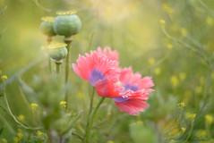 Poppy Love... (KissThePixel) Tags: pink purple poppies poppy poppyfield field meadow pinkandpurplepoppy pinkflowers pinkflower pinkpoppy grass summermeadow summer summerdays june monthofjune bokeh macro macromonday monday nikon nikondf helios helios44m4 44m4 58mm f2 nature beautiful petals bokehlicious