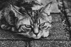 Nachbars Katze (Günter Hentschel) Tags: katze katzen hauskatze lebewesen haustier tier stubentiger hentschel flickr nikon nikond5500 d5500 6 2019 juni juni2019 deutschland germany germania alemania allemagne europa nrw dieanderenbilder