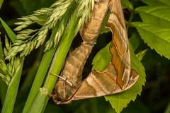 DSC_9160 (Adrian Royle) Tags: lincolnshire bardneylimewoodsnnr nature wildlife insect lepidoptera moth hawkmoth limehawkmoth mimastiliae macro mating sex nikon