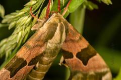 DSC_9153 (Adrian Royle) Tags: lincolnshire bardneylimewoodsnnr nature wildlife insect lepidoptera moth hawkmoth limehawkmoth mimastiliae macro mating sex nikon