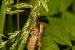 DSC_9148 (Adrian Royle) Tags: lincolnshire bardneylimewoodsnnr nature wildlife insect lepidoptera moth hawkmoth limehawkmoth mimastiliae macro mating sex nikon