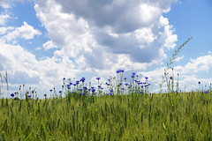 Bleuet des champs (Croc'odile67) Tags: nikon d3300 sigma contemporary 18200dcoshsmc paysage landscape fleurs flowers champ ciel cloud sky nature nuages