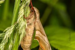 DSC_9165 (Adrian Royle) Tags: lincolnshire bardneylimewoodsnnr nature wildlife insect lepidoptera moth hawkmoth limehawkmoth mimastiliae macro mating sex nikon