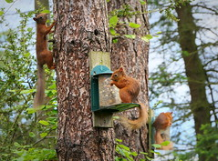 Red Squirrels (eric robb niven) Tags: ericrobbniven scotland redsquirrel wildlife nature dundee springwatch