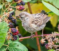 B&B-Berry Bird. (Omygodtom) Tags: wildlife bird sparrow natural nature d7100 digital nikon70300mmvrlens great eating usgs flickriver flickyhive