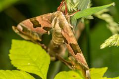 DSC_9167 (Adrian Royle) Tags: lincolnshire bardneylimewoodsnnr nature wildlife insect lepidoptera moth hawkmoth limehawkmoth mimastiliae macro mating sex nikon
